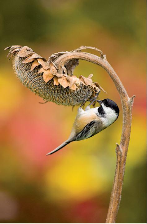 birdeatingsunflower